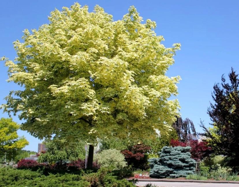 Acer platanoides Drummondii-2