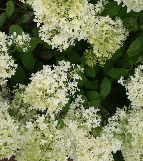 Hydrangea-paniculata-Dentelle-de-Gorron2