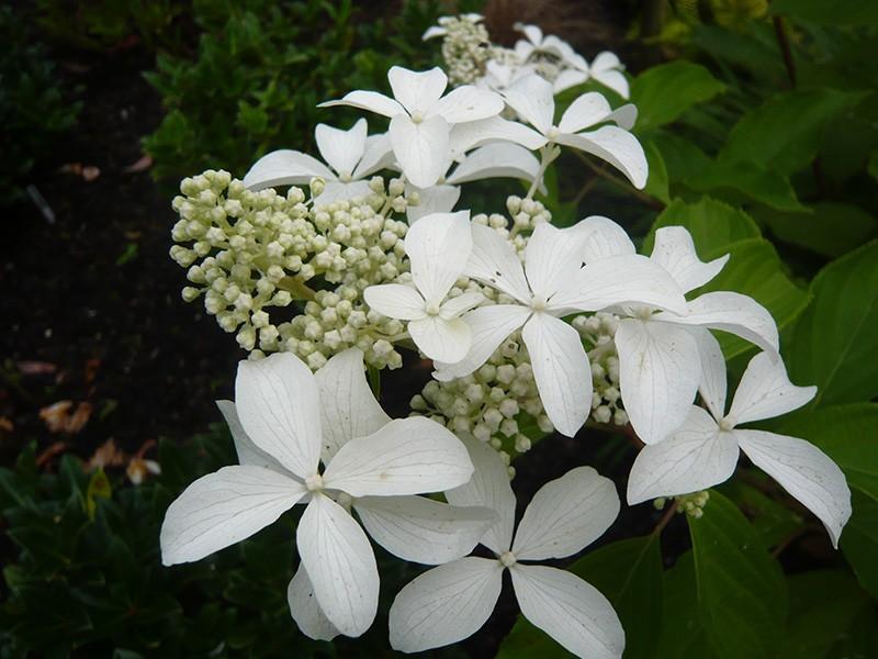 Hydrangea paniculata Great Star