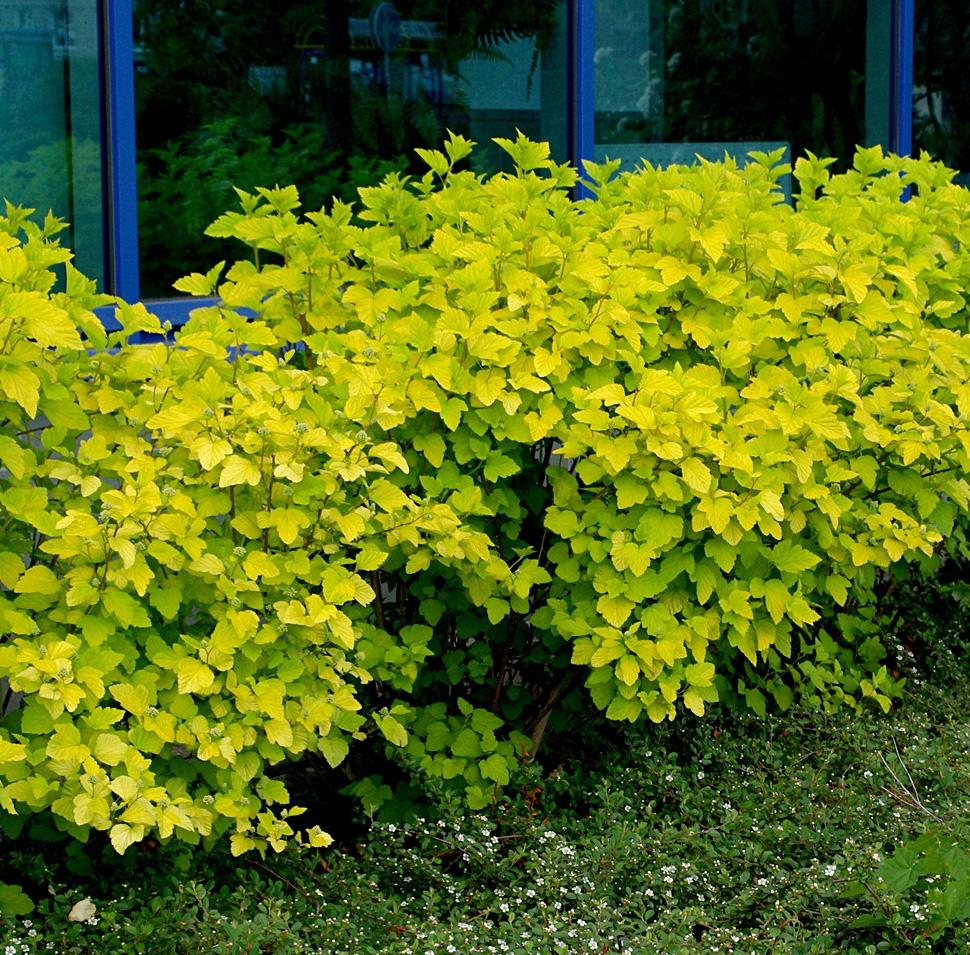 Physocarpus-opulifolius-Luteus