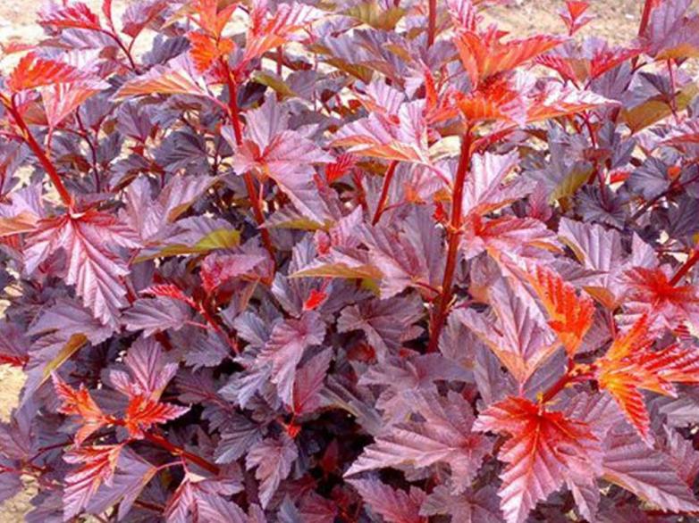 Physocarpus-opulifolius-lady in red