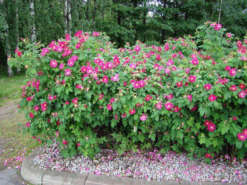 Rosa-rugosa-Rubrum