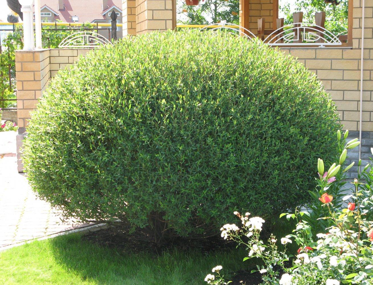 Salix purpurea Nana