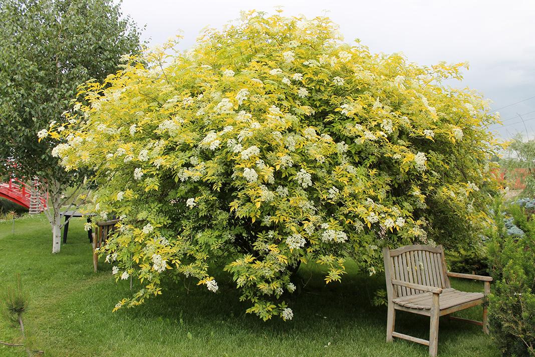 Sambucus racemosa Aurea