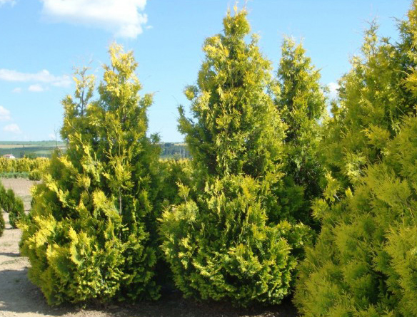 Thuja occidentalis Yellow Ribbon-2