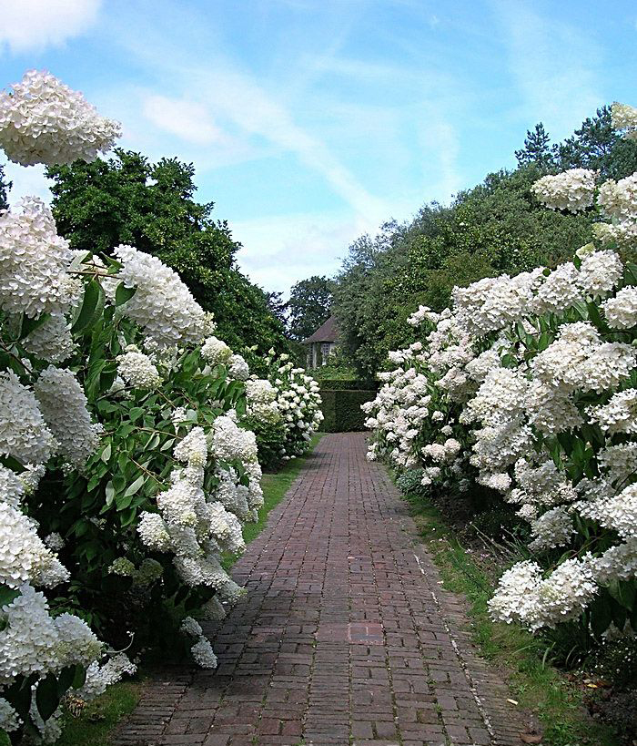 hydrangea-paniculata-grandiflora2