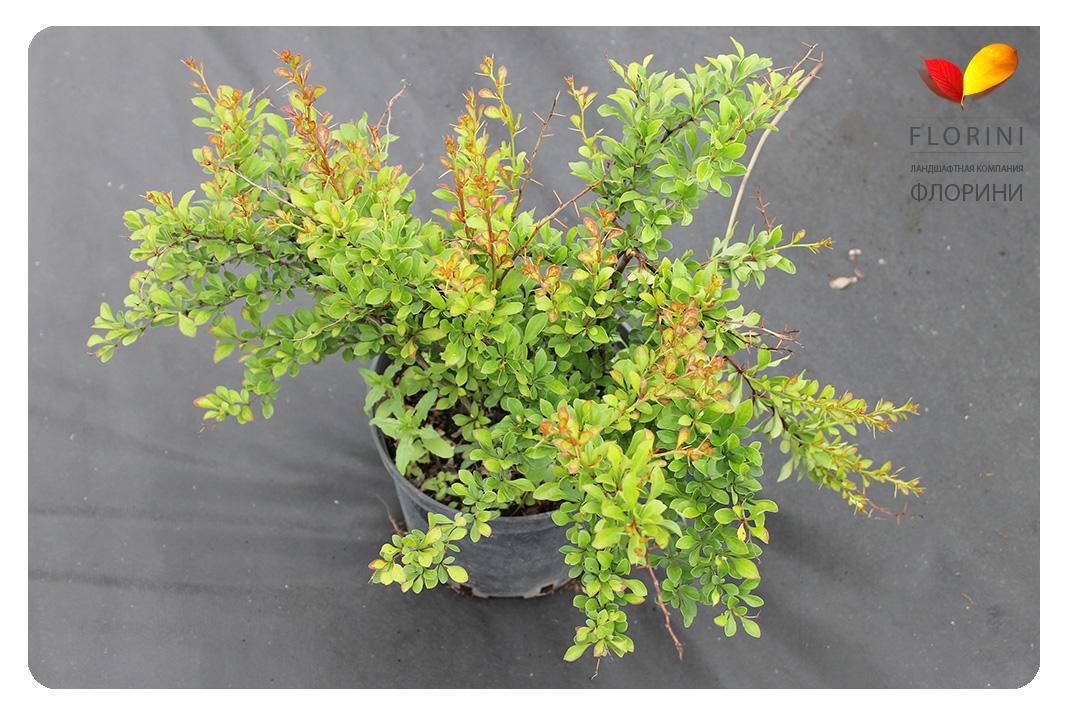 florini15-06-02-56-барбарис