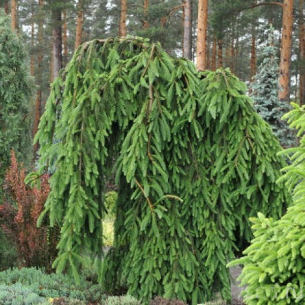 picea_abies_frohburg